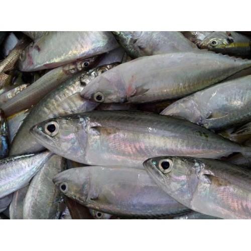 3. Cá bạc má
